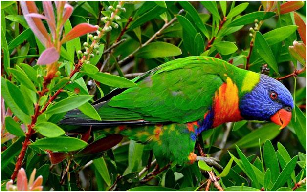 Попугай Лорикет