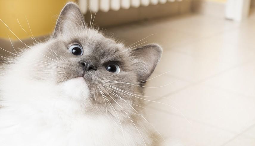 ragdoll_cat